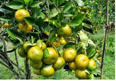 Jeruk (rutaceae) - pustakapengetahuan.com