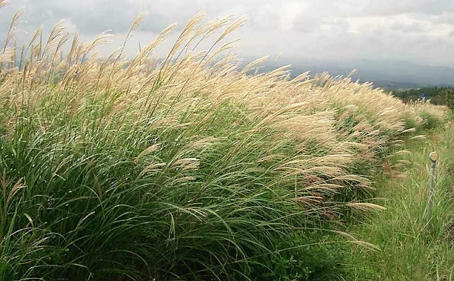Field grown Miscanthus sinensis in flower