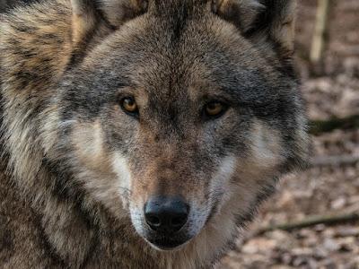 волк, санитар леса