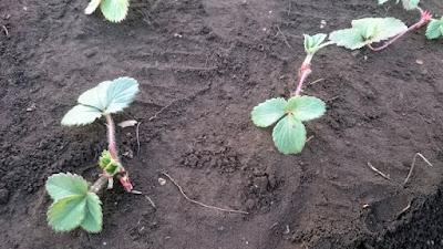 植え付けた四季成りイチゴの株