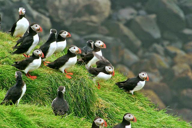 Birdwatching in Iceland