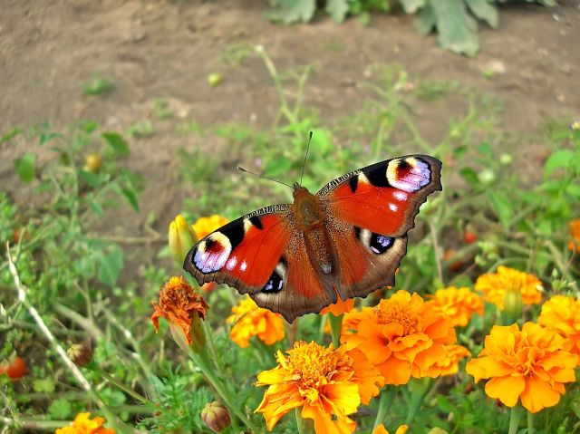motyle, owady, aksamitna, kwiaty