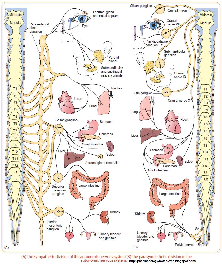 Sympathetic and Parasympathetic Division of Autonomic Nervous System |Pharmacology
