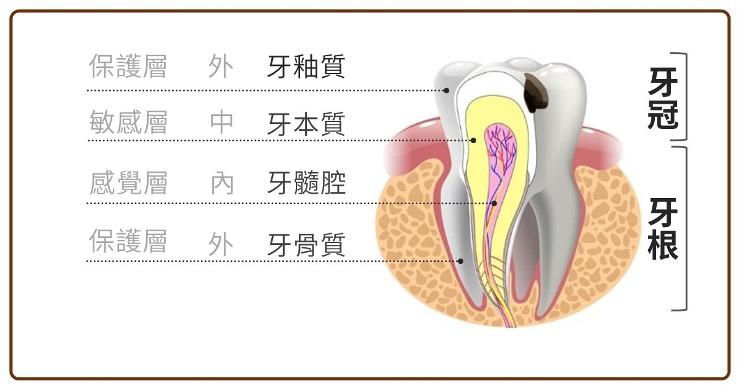 牙齒的構造