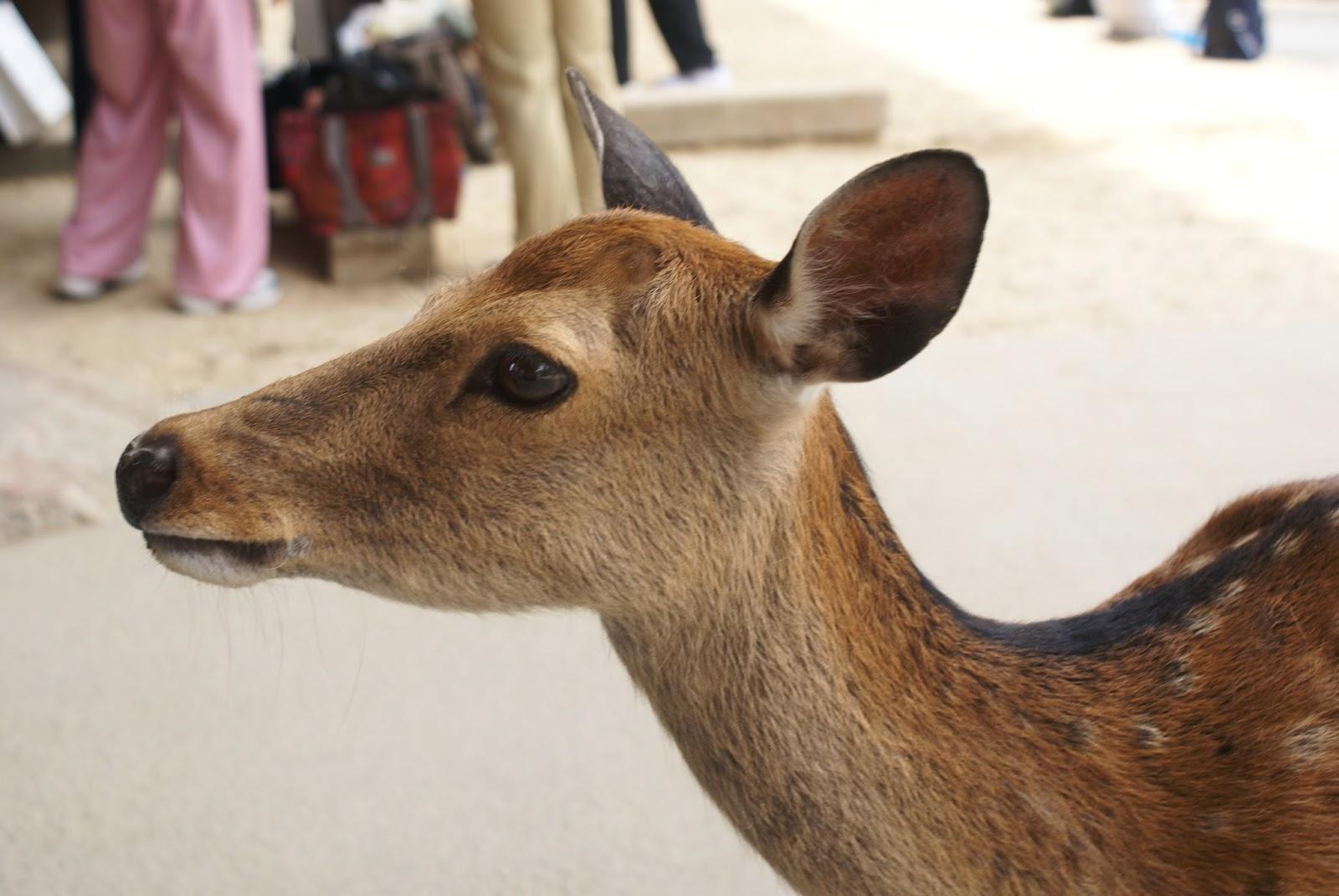 nara koen park shika deer japan asia