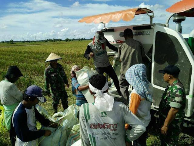 Panen Padi di Desa Pertahanan, Babinsa Koramil 10/Sei Kepayang Lakukan Pendampingan