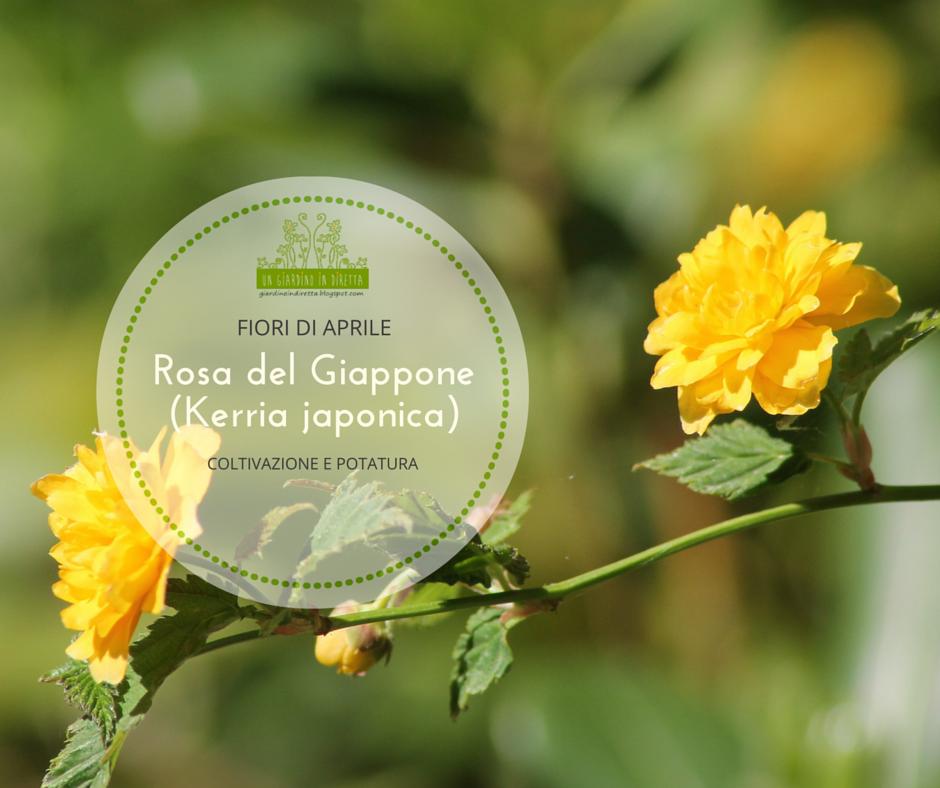 Fiori di aprile rosa del giappone kerria japonica for Fiori in giardino