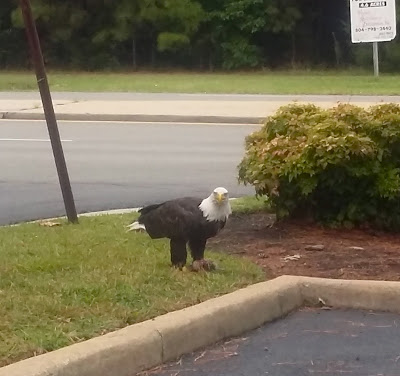 A bald eagle sighting at the Union Bank in Ashland, VA