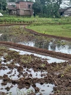 Contoh lahan tanaman padi