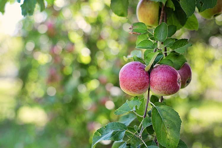 Apel Sebagai Obat Herbal Alami