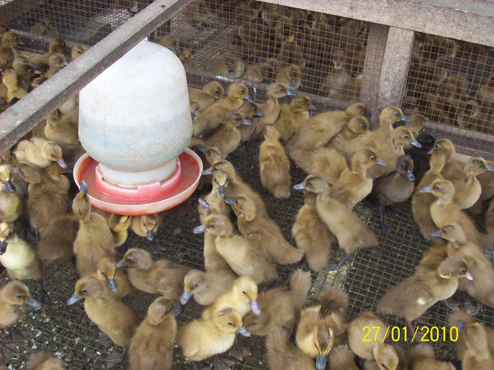 Peternakan Dody, Jual bebek petelur, DOD itik, dan bebek ...