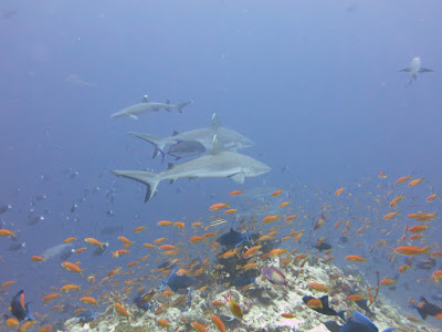 Photo of marine life and white tip sharks and grey reef sharks, scuba diving at Rasdhoo Atoll