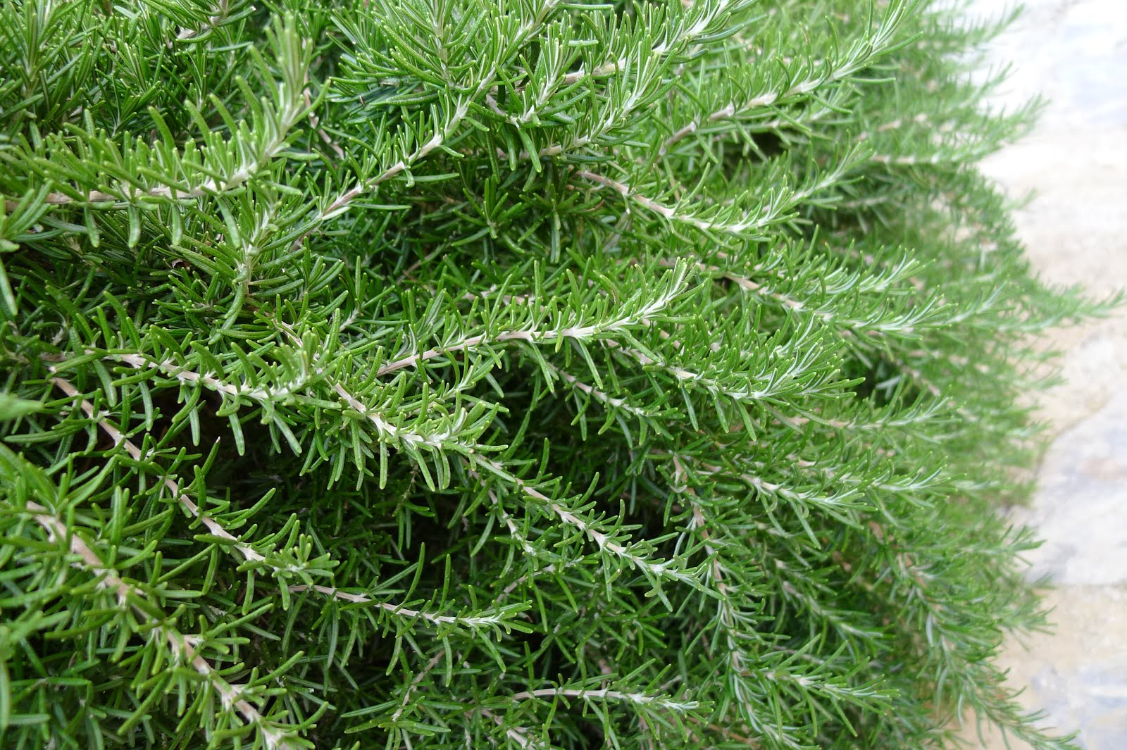 Grow Rosemary Inside in Winter