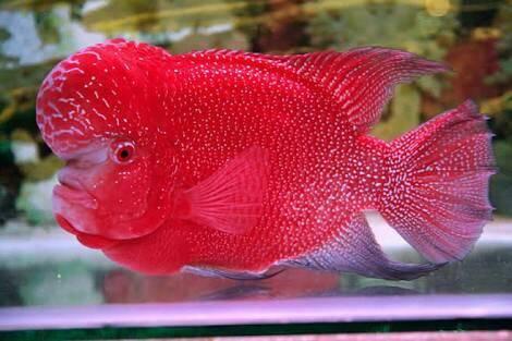 Ikan Red Monkey