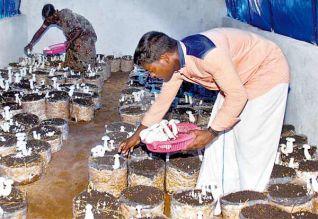 சுய தொழில் பால் காளான்கள் வளர்ப்பில் அசத்தும் பட்டதாரி வாலிபர்