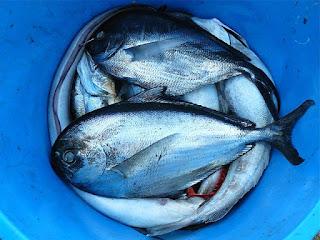 Fische in einem Eimer ersticken