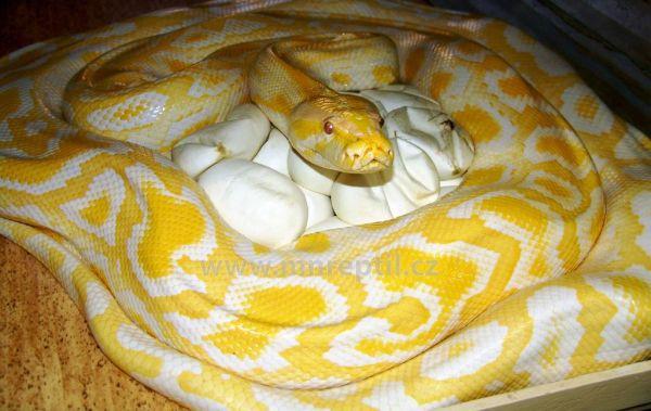 Fotos das maiores cobras já encontradas pelo homem