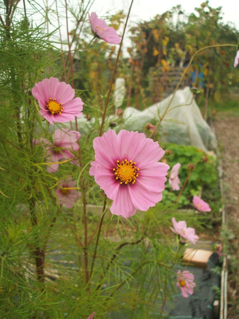 cosmos flowers add autumn colour to our allotment plot