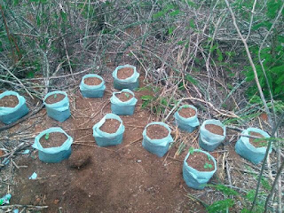 Roça de maconha é plantada por neto no quintal da casa da avó