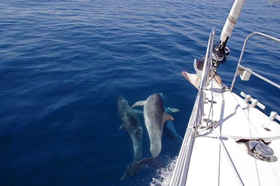 Dolphins Sailing through Croatia