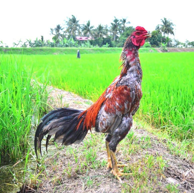 Gambar 6 Warna Bulu Ayam Laga Berkualitas Tempur Gambar