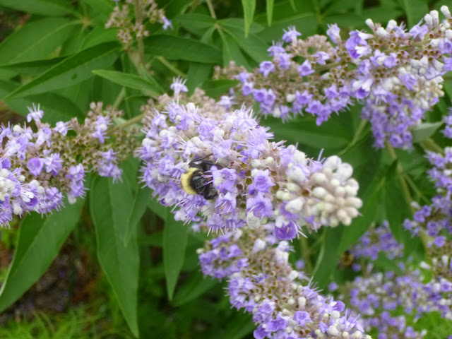 Bumble bee on Vitex agnus-castus (chaste tree) flower spike