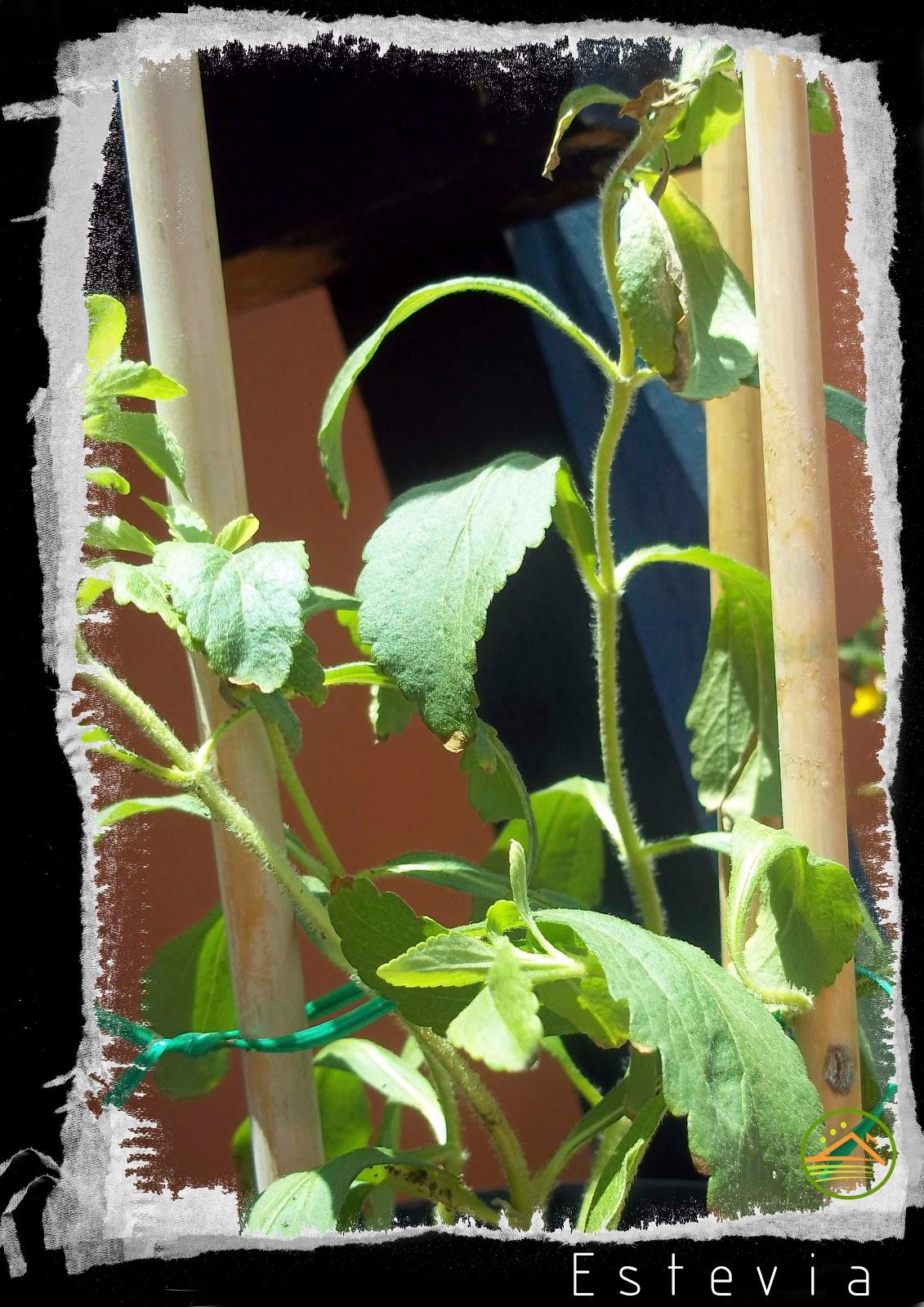 Planta tobacco reproduccion asexual de las plantas