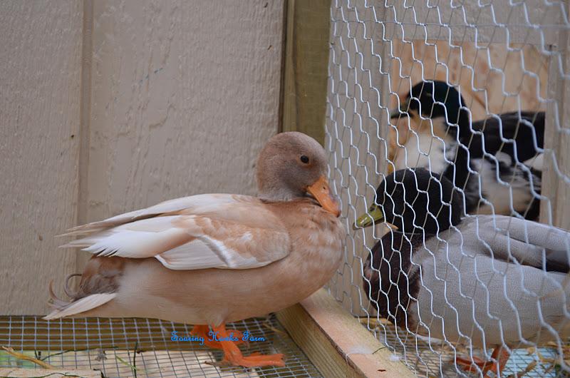 What Color Is Buff >> Soaring Hawks Farm: Call Ducks
