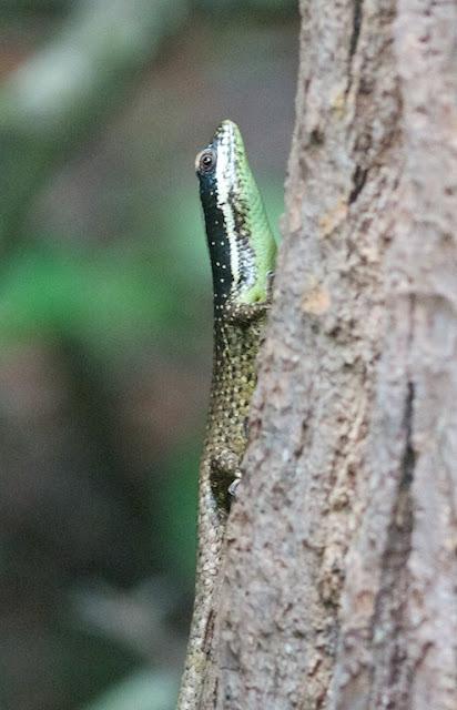 Striped Tree Skink (Apterygodon vittatus)