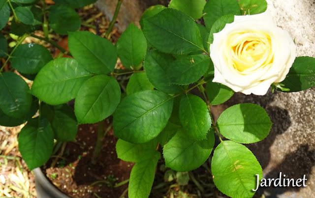 Roseira feita por estaquia