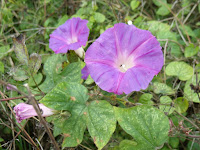 Morning Glory/Ipomoea purpurea