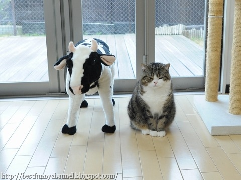 Funny cat and cow.