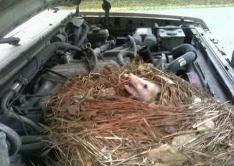 12 Cara Ampuh Mengusir Tikus Dari Ruang Mesin Mobil Mas Cecep