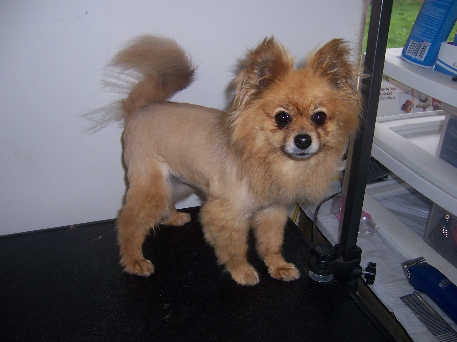 pomeranian trimmed parkside grooming of sheridan wyoming little dogs 4459