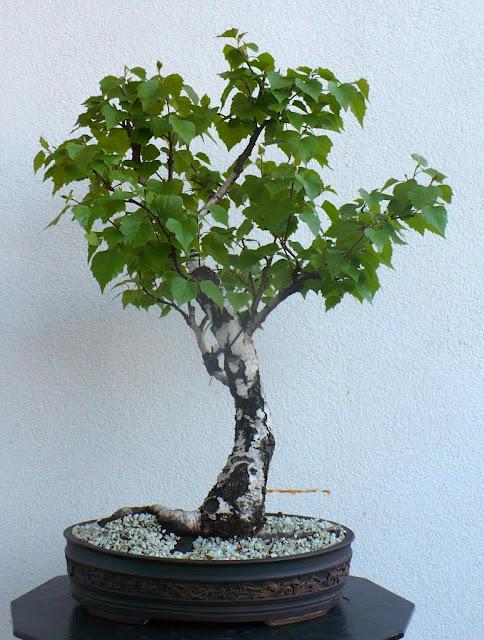 Maros Bonsai Blog Birch No 1 In Leaf