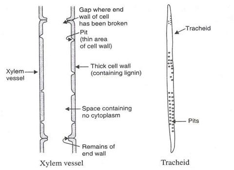 Mech anism1 - पौधों में परिसंचरण तंत्र की क्रियाविधि