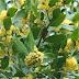 Arılar Açısından İlkbahar Aylarında Nektar ve Polen Kaynağı Olan 1.grup Bitki Çeşitleri