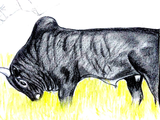 PENCIL DRAWING - JALLIKATTU BULL