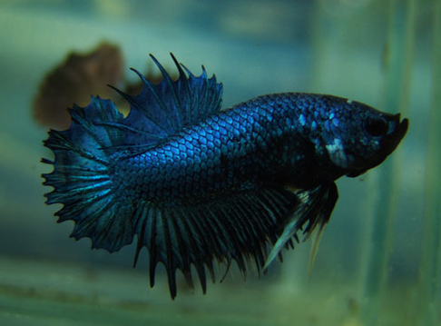 Picture betta splenden Plakat Blue
