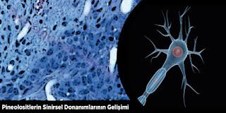 Pineolositlerin Sinirsel Donanımlarının Gelişimi