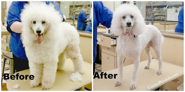 Poodle before and after petsmart grooming