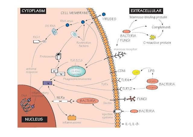 Receptors Of The Innate Immune System