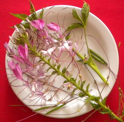 Flor de araña Cleome hassleriana