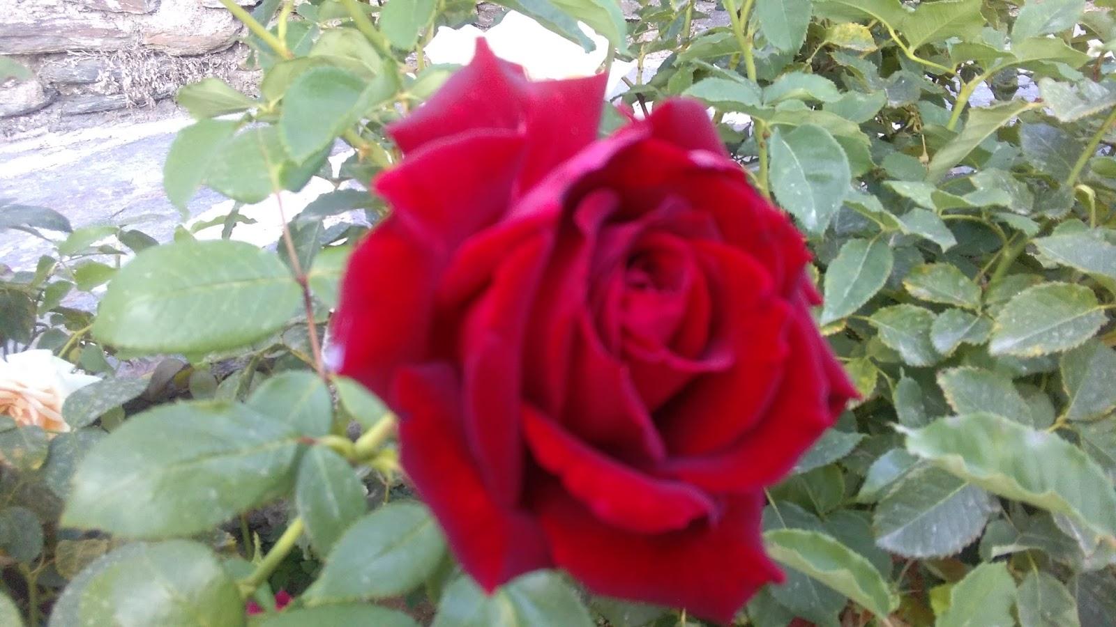 Blog de dorisalon los rosales de mi prima conso - Rosales trepadores perfumados ...