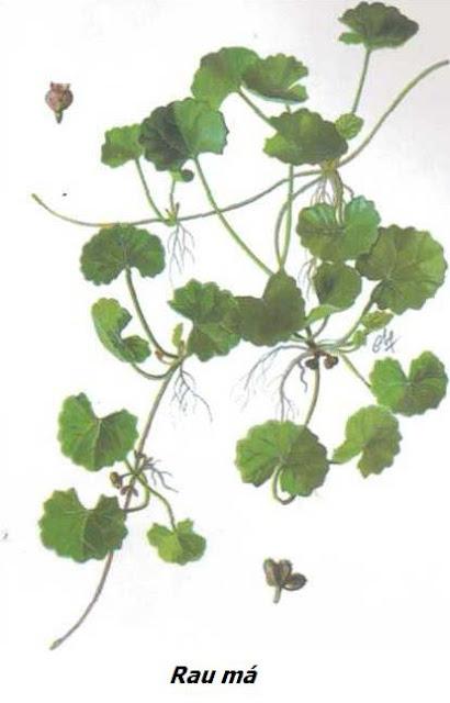 Rau Má - Centella asiatica - Nguyên liệu làm thuốc Chữa Cảm Sốt