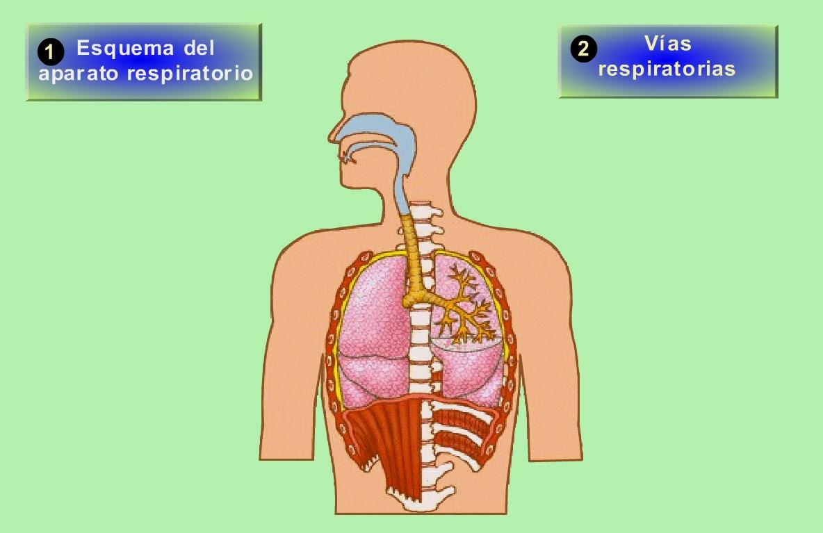 Higiene Del Sistema Respiratorio: 3º E.S.O.: Aparato Respiratorio.Pulmones.Actividad