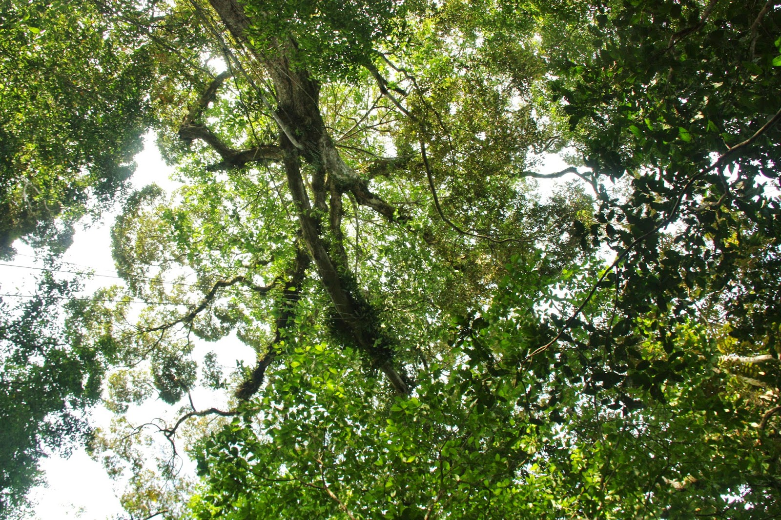 Copa das árvores na Reserva Mamirauá.