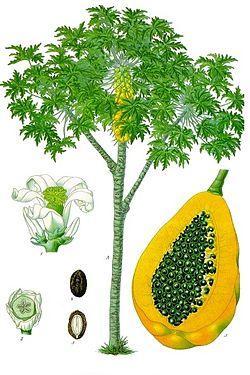 Mamão (Carica papaya)