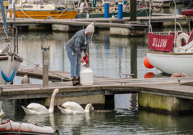 Photo of me feeding the swans in Maryport Marina