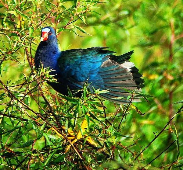 pollona azul Porphyrio martinicus